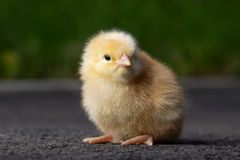 The little chicken Royalty Free Stock Photo