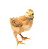 A little chicken Stock Photo