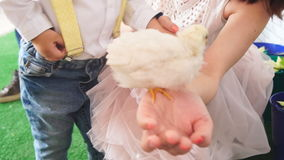 Little chicken on a woman`s hand stock video