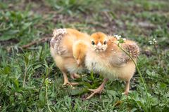 Little chicken, yellow chickens on the grass. Rearing small chickens. Poultry farming stock photos