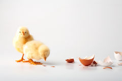 Little chickens. Just the born chickens on a white background Stock Images