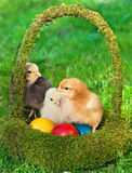 Little chickens in the basket with eggs Royalty Free Stock Photography