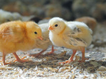 Little chickens Royalty Free Stock Image