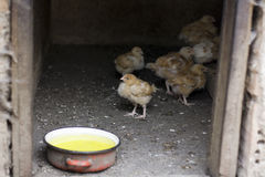 Little chickens Stock Images