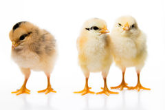 3 little chickens. Isolated on white background royalty free stock images