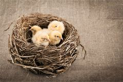 Little chickens on nest. Closeup wings soft baby grow bird Stock Photography