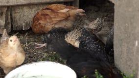 little chickens walking on a backyard stock video footage