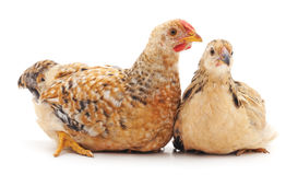 Little chickens. Royalty Free Stock Images