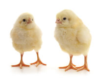 Little chickens. Royalty Free Stock Photo