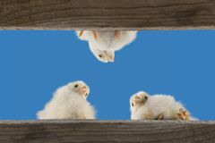 Little chicks. Three little chicks as a easter scene Royalty Free Stock Photo