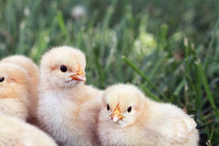 Little Chicks Royalty Free Stock Photography