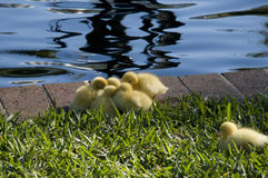 Little Chicks. Grouping Together in Park Stock Image