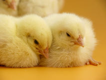 Little chicks close up. Group of little chicks on yellow background Royalty Free Stock Photography