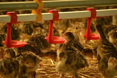 Little chicks drinking water. Bunch of chicks drinking water in a modern farm Stock Photos