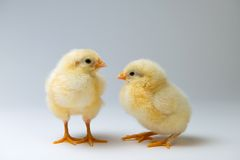 Little chicks in front of bright background. Two little yellow chicks in front of bright background Stock Images