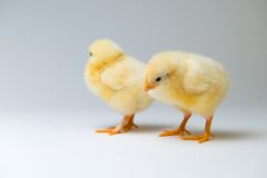 Little chicks in front of bright background. Two little yellow chicks in front of bright background Stock Photos