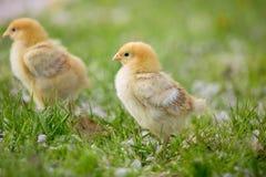 Little chicks on the grass Stock Photo