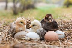 Chick in the nest Royalty Free Stock Photos