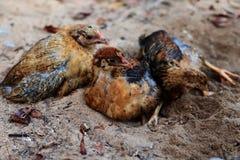 Little chicks. Lie on the sand, on a farm Stock Photo