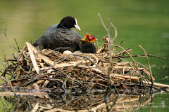 Eurasian Coot (Fulica Atra) Stock Photos
