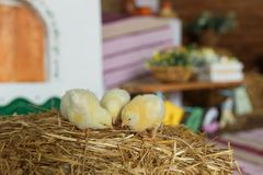 Free Little Chicks On The Hay In Traditional Ukrainian Interior Royalty Free Stock Photos - 112410158