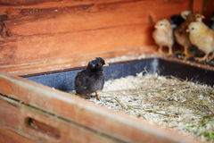 Little chicks in the stable on the farm. Different colored little chicks in the stable on the farm Stock Photography