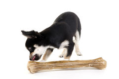 Little Chihuahua with big bone Royalty Free Stock Photo