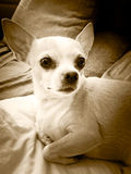 Little Chihuahua Royalty Free Stock Images