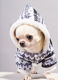Little chihuahua in coat Royalty Free Stock Photos