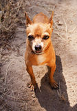 Little Chihuahua. Cute pet looking the camera Royalty Free Stock Image