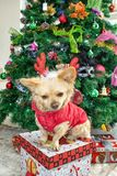 A little chihuahua dog in deer horns and a New Year`s costume on the background of the Christmas tree stock image