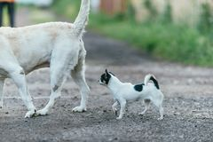 A little chihuahua dog is following another big dog. Spring landscape Selective focus shot with shallow DOF.  stock photography
