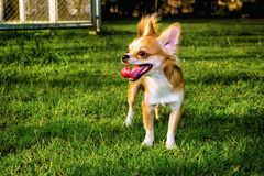Little Chihuahua Dog. Little Chihuahua on the lawn in the park Royalty Free Stock Photo