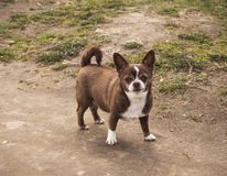 Little chihuahua dog in the park standing on the road royalty free stock photos