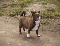 Little chihuahua dog in the park looking up royalty free stock photos
