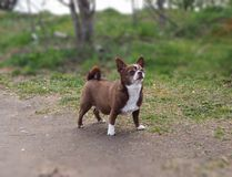 Little chihuahua dog in the park stock photo