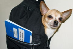 Little chihuahua dog ready to travel in a backpack with pet passport. Stock Photos