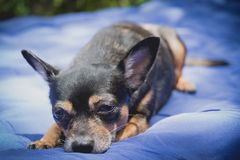 Little chihuahua dog sleeping and take some rest, dog sleeping Royalty Free Stock Photo