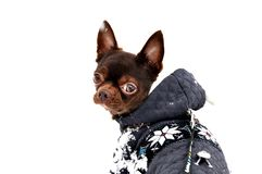 A little chihuahua dog in winter royalty free stock photos