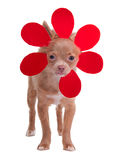Little chihuahua dressed like a flower Royalty Free Stock Image