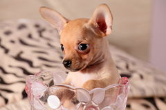 Little chihuahua in a flower vase. Little chihuahua at the age of 3 months with long ears Royalty Free Stock Photo