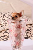 Little chihuahua in a flower vase. Little chihuahua at the age of 3 months with long ears Royalty Free Stock Images