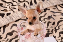 Little chihuahua in a flower vase. Little chihuahua at the age of 3 months with long ears Stock Image