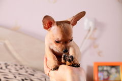Little chihuahua in a hand. Little chihuahua sits in a hand with long ears sits in a hand Stock Images