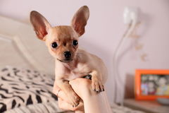 Little chihuahua in a hand. Little chihuahua sits in a hand with long ears sits in a hand Stock Photos