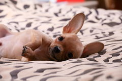 Little chihuahua lays on a coverlet. Little chihuahua at the age of 3 months with long ears Stock Image