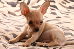Little chihuahua lays on a coverlet. Little chihuahua at the age of 3 months with long ears Stock Images