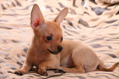 Little chihuahua lays on a coverlet. Little chihuahua at the age of 3 months with long ears Royalty Free Stock Image