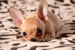 Little chihuahua lays on a coverlet. Little chihuahua at the age of 3 months with long ears Stock Photography