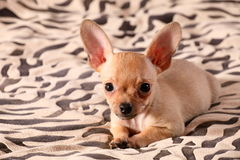 Little chihuahua lays on a coverlet Royalty Free Stock Image